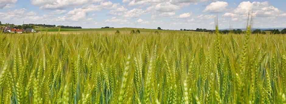 Getreidefeld vor Unterfränkischer Landschaft