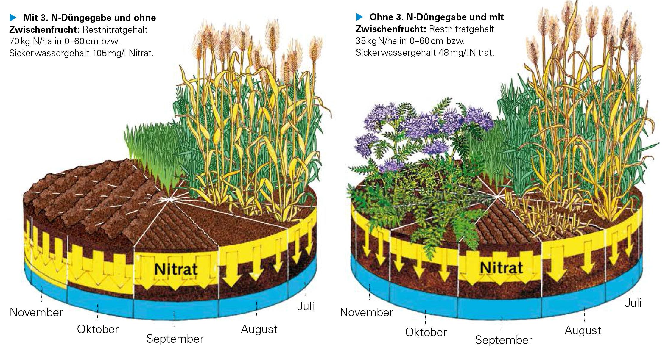 Grafik Nitratsanierung durch Zwischenfruchtanbau