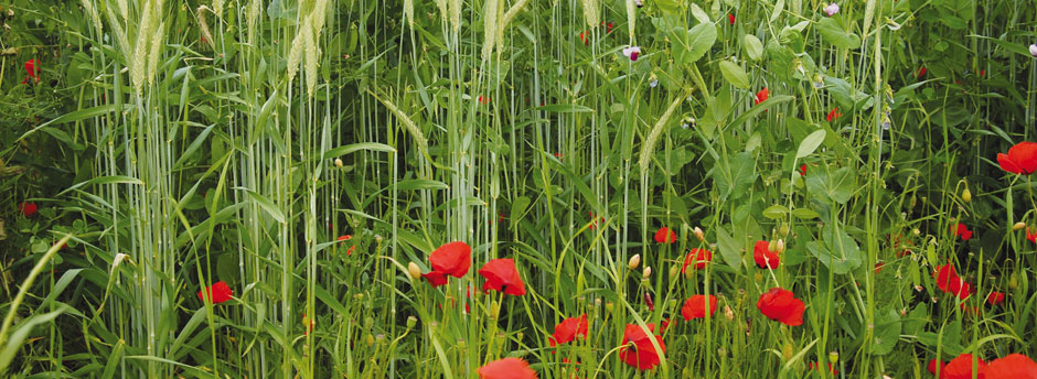 Getreide mit Untersaat und Mohnblumen