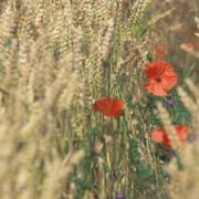 Getreide mit kleinem Blühstreifen