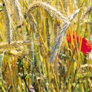 Roggenfeld mit Mohn und Kornblumen