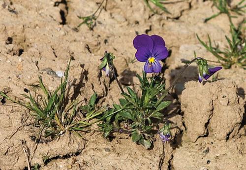 Trockener Boden mit einzelnem Stiefmütterchen