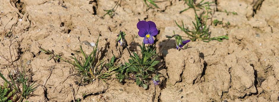 Trockener Boden in Unterfranken mit einzelnen Pflanzen