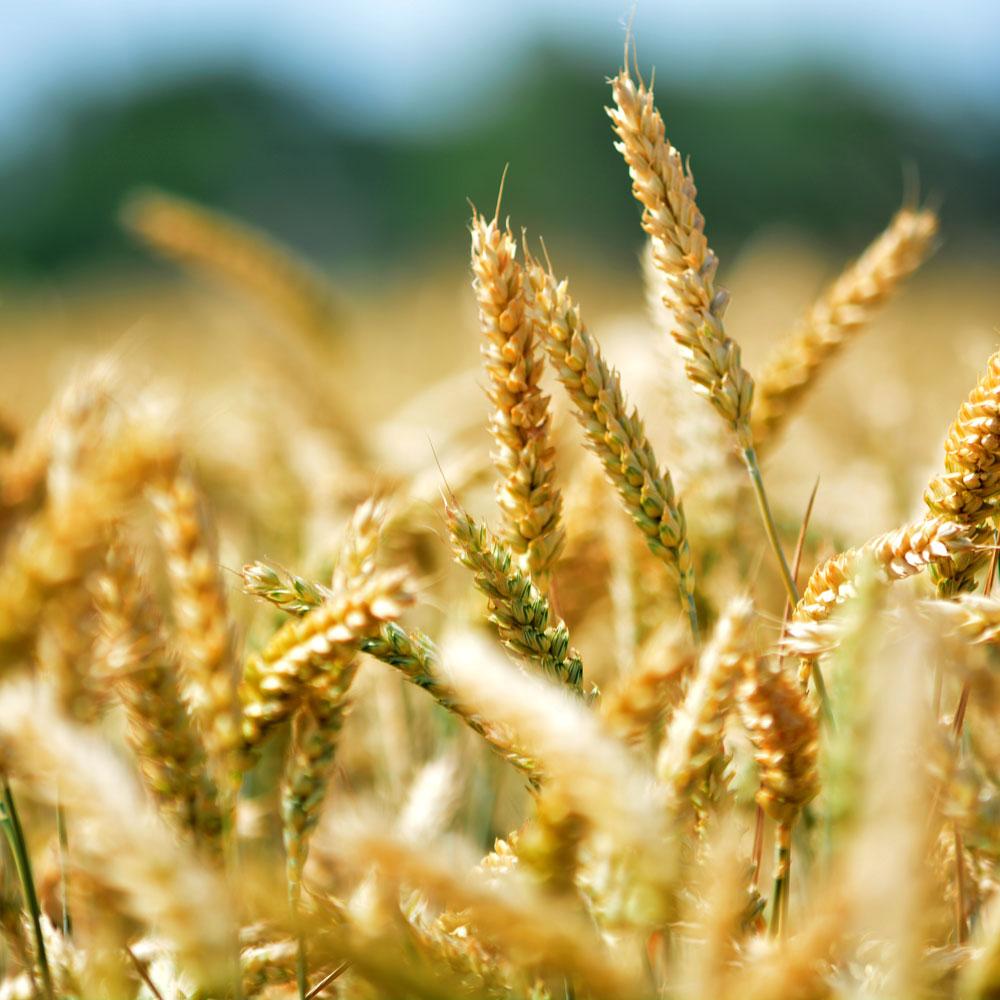 Weizenähren kurz vor der Ernte